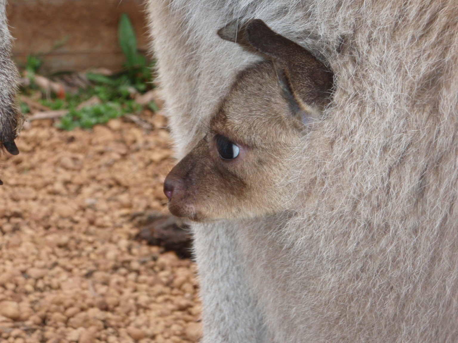 Joey Kangaroos