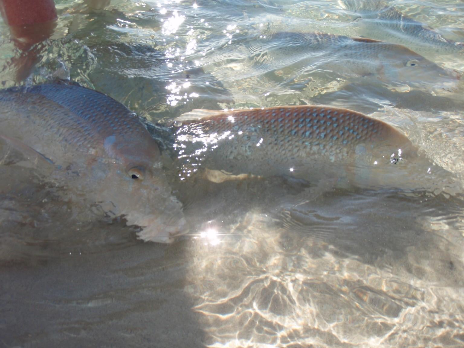 Coral Bay Fish Feeding