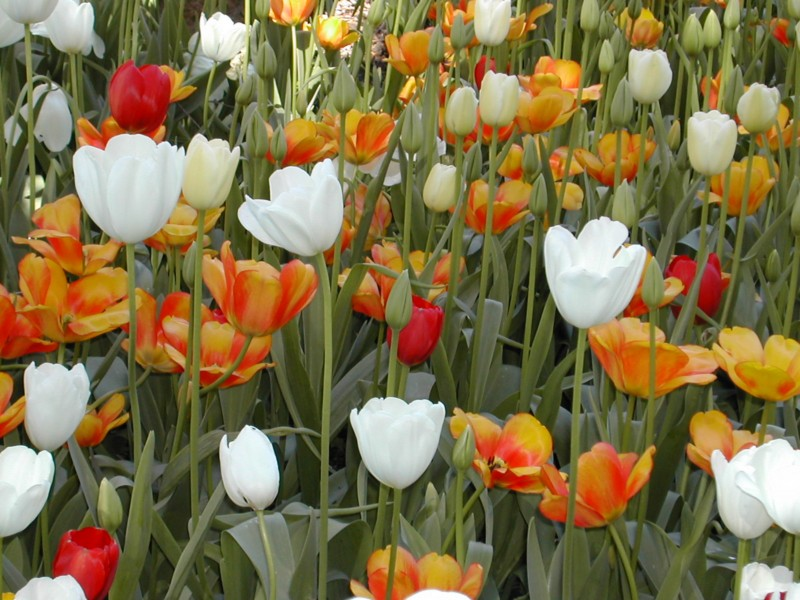 Araluen Tulips
