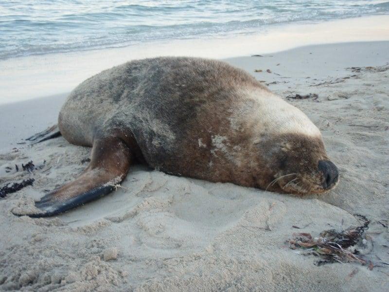 Carnac Island Seals