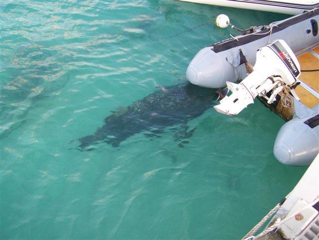 Coral Bay resident Groper
