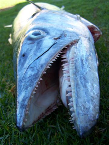 Mackerel Teeth