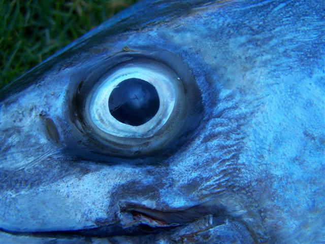 Mackerel Eye