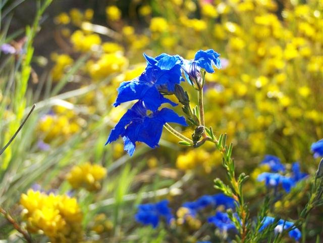 Wildflowers in Kings Park