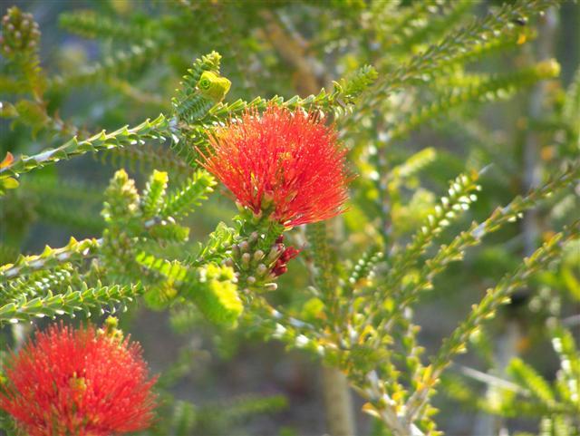Bottle Brush Flowers
