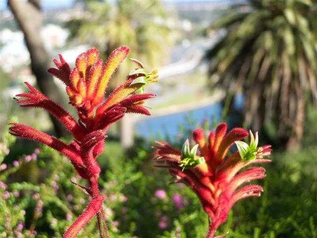 Kings Park Kangaroo Paws