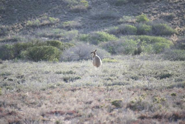 Western Australian Kangaroo