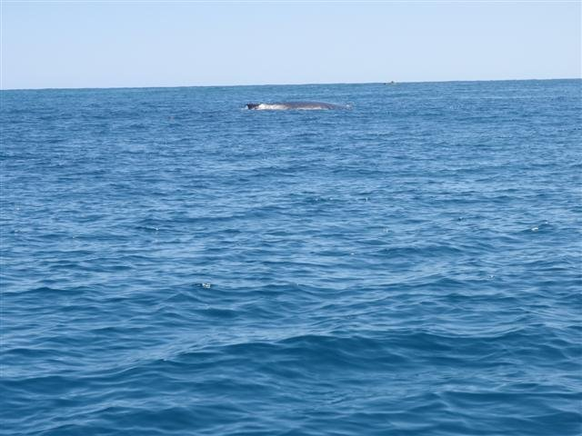 Whales at Coral Bay