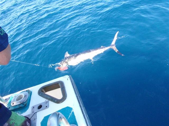 Catching a Marlin