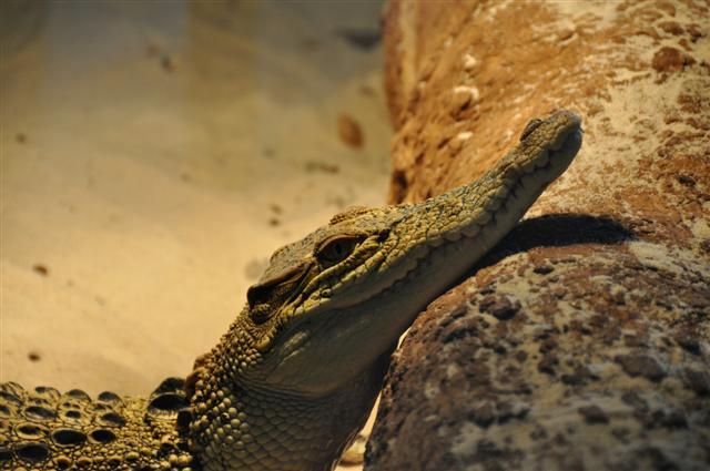Marapana Wildlife Park Crocodile