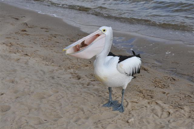 Greedy Pelicans at Walpole