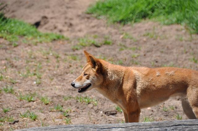 WA Dingo