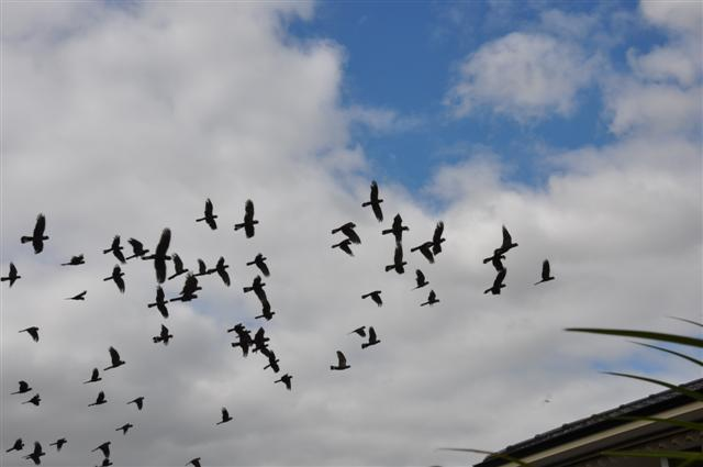 A flock of Black Cockatoos in Perth