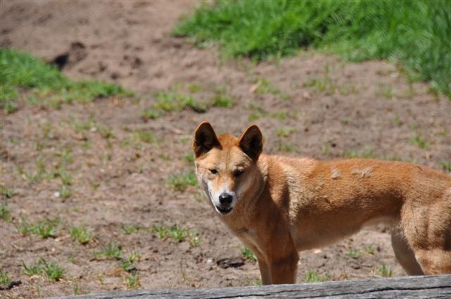 Dingo's in WA