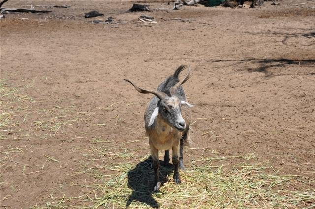 DSC 0285 Small Goats at Marapana Wildlife Park