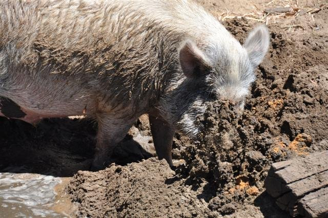 Happy as a pig in mud