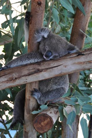 The life of a Koala - what a dream!
