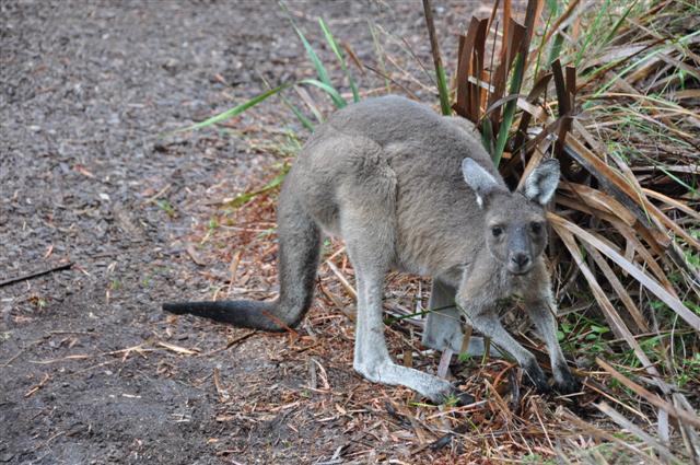 Friendly Kangaroo at Walpole