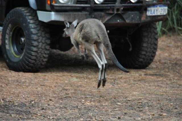 Kangaroos at Walpole