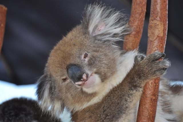 Up close with a Koala