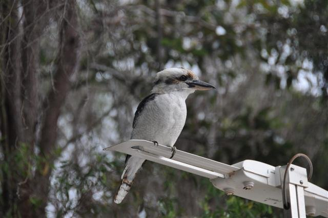 Kookaburra making itself at home