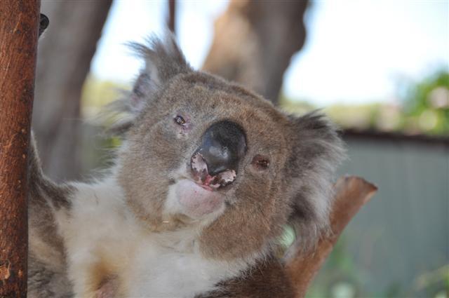 Friendly Koalas