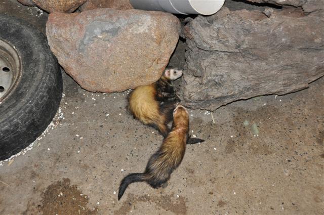 Ferrets at Marapana