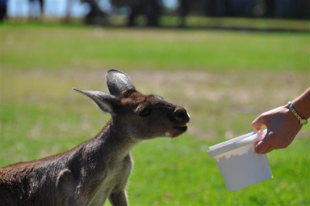 Hand feed the Kangaroos