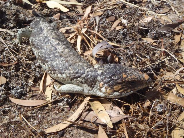 Bob Tail Lizard