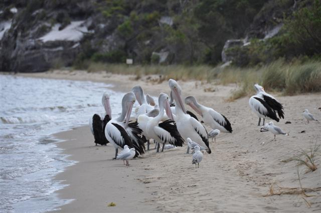Friendly Pelicans at Walpole