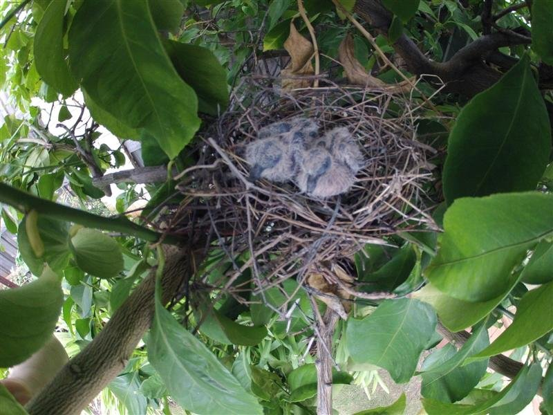 Baby Doves in Our Lemon Tree