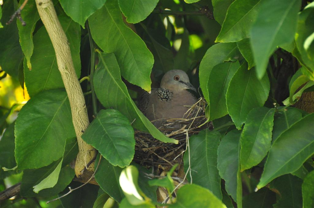 A Dove Nesting in Our Back Yard