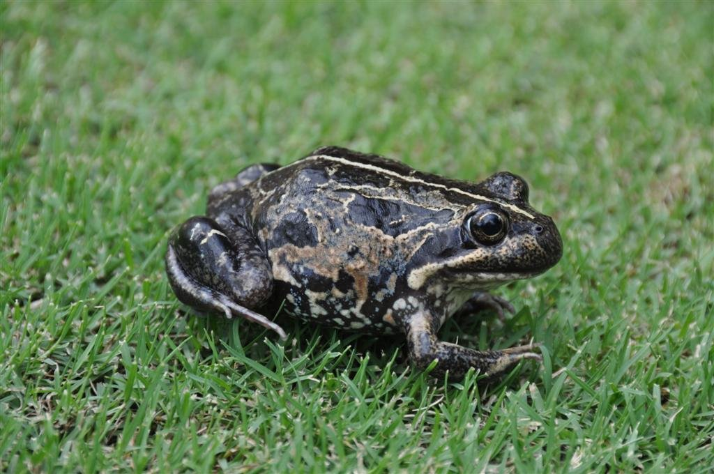 A Frog in the Backyard
