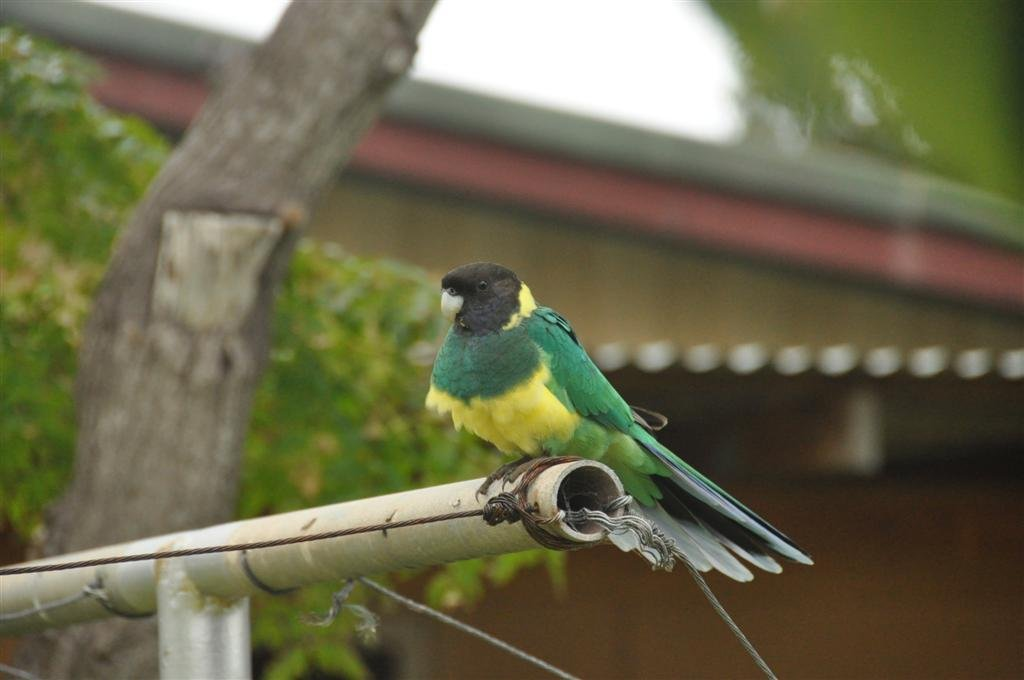A Local Parrot at Kalbarri