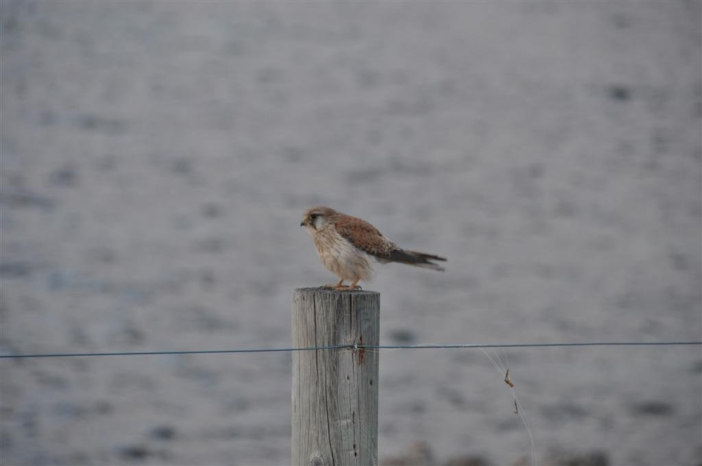 A Small Hawk at Point Peron