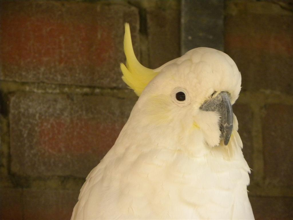 A Yellow Crested Cockatoo