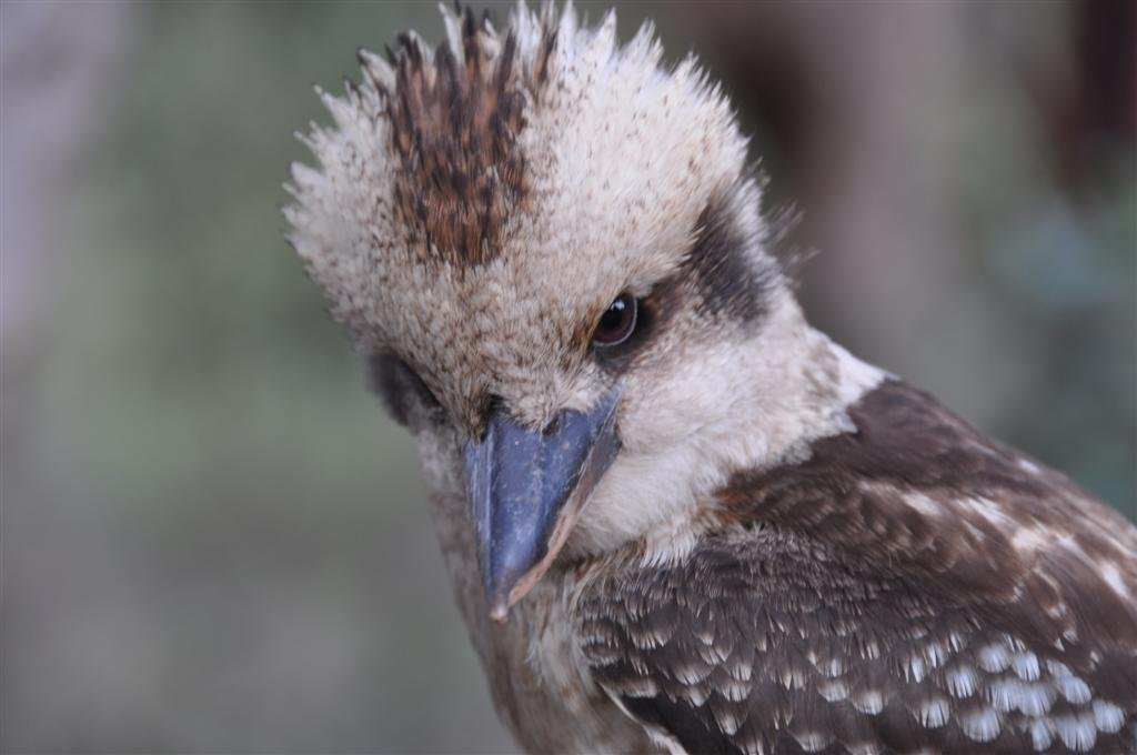 Close to a Kookaburra