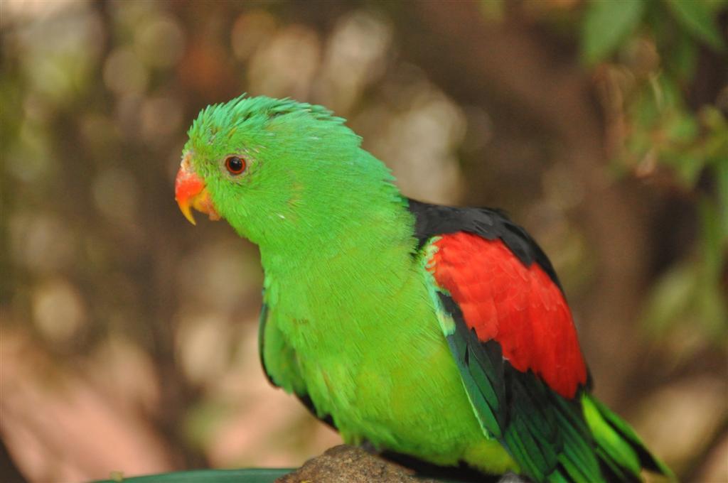 Colourful Parrot At Kalbarri Bird Park
