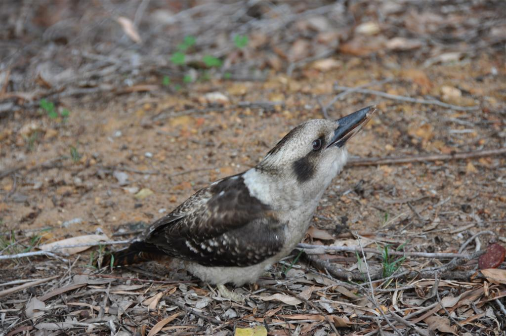 Greedy Kookaburras