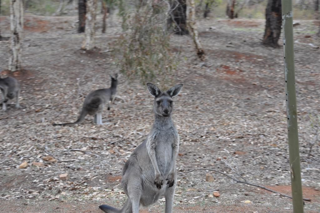 Kangaroos at Serpentine Falls