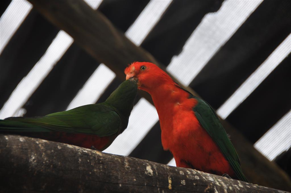 Parrot Love in Kalbarri