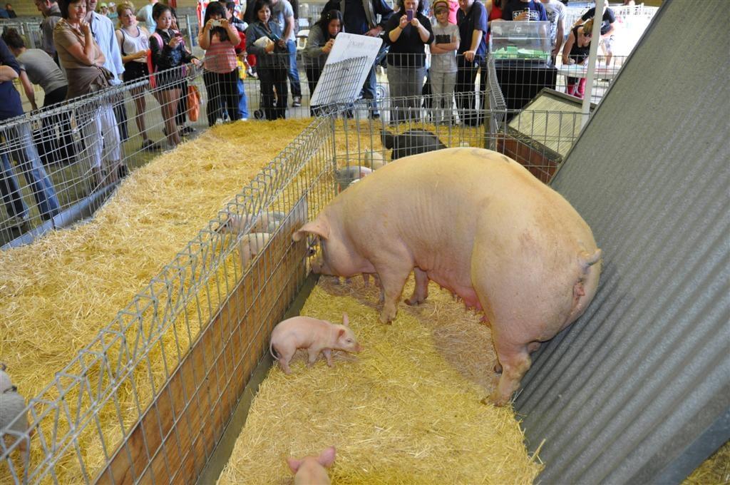 Pigs at the Royal Show