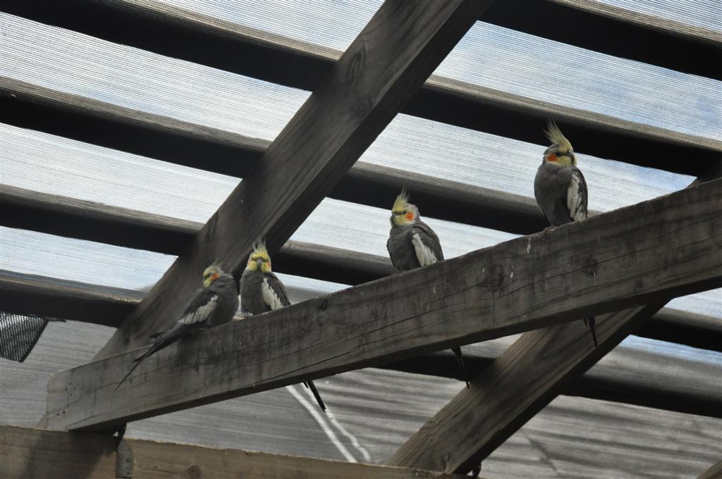 Plenty of Free Flying Birds at Kalbarri Bird Park