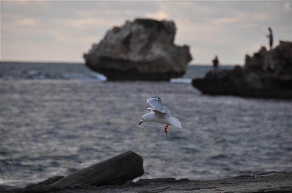 Point Peron Seagulls