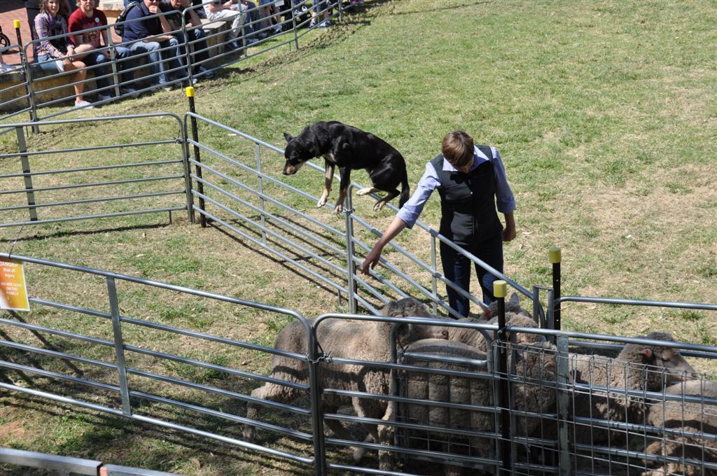 Sheep Dogs at the Royal Show