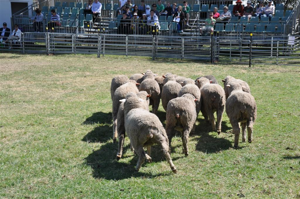 The Royal Show Sheep Herding