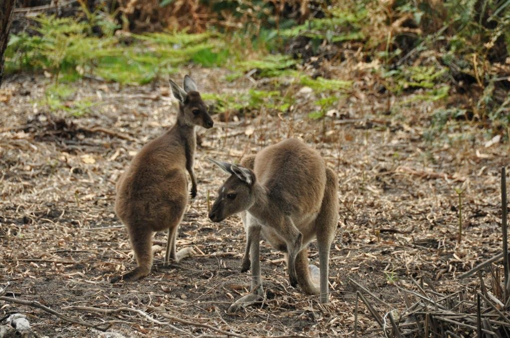 Friendly Kangaroo's in Perth