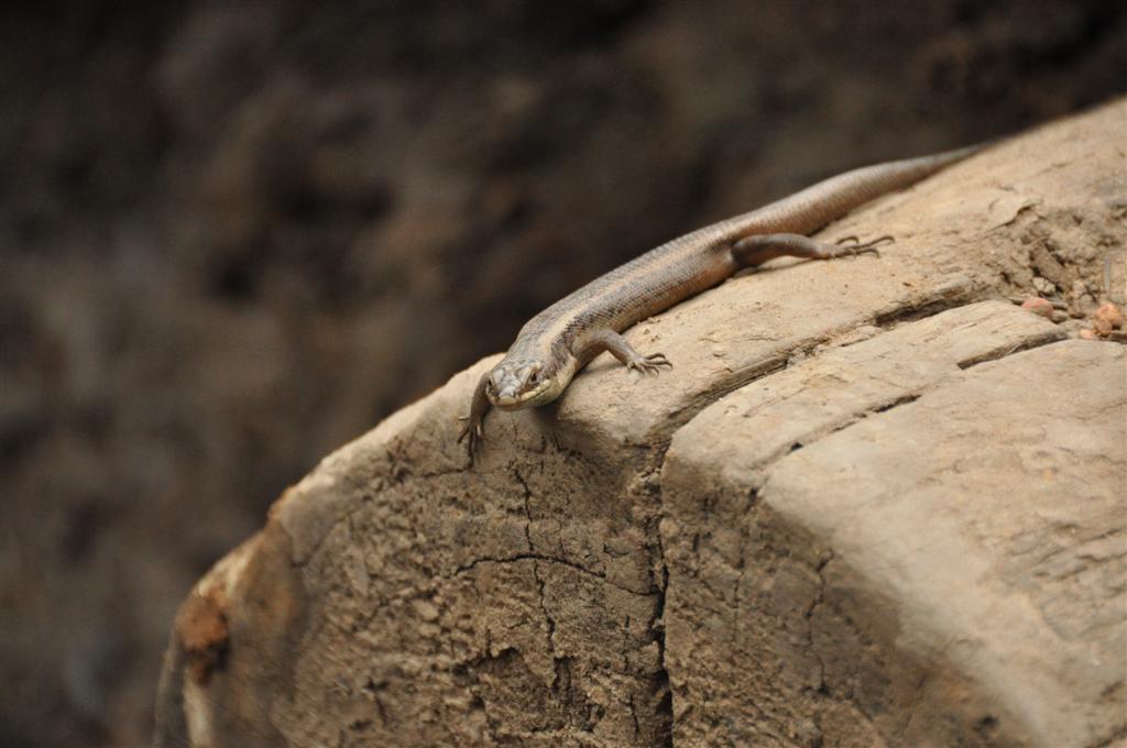 Lizard spotting at Dwellingup