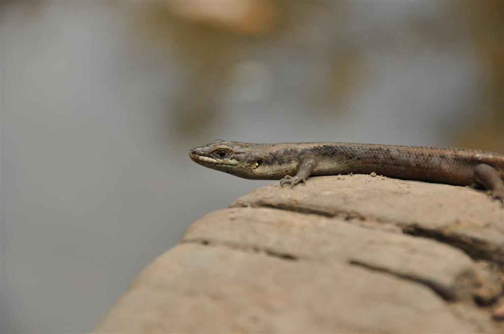 A lizard in Dwellingup posing for the camera