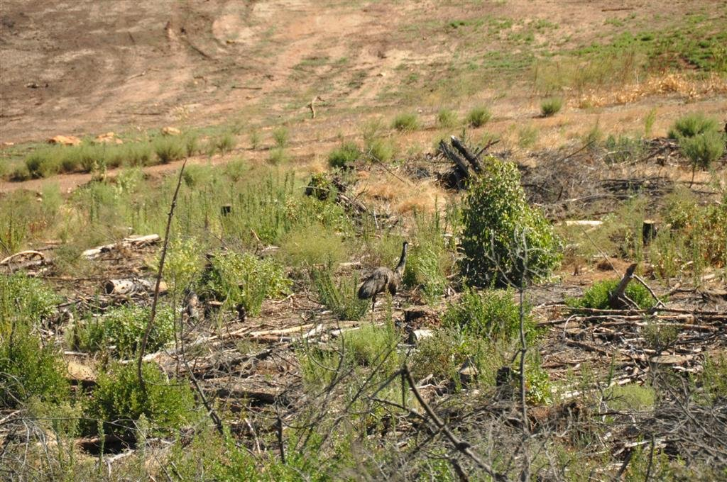 Emus in WA